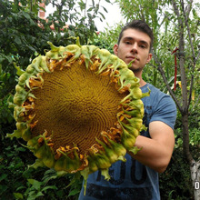 20pcs rare giant big sunflower bonsai black russian flower plants for home garden qw02