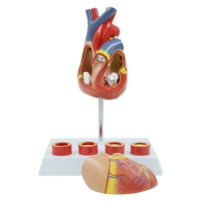 Educación modelo corazón zona 4 etapa Vascular anatomía del corazón ...