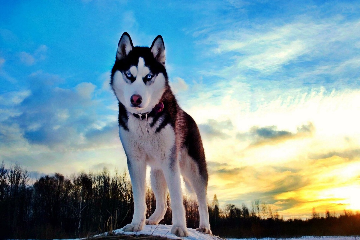 Online Buy Wholesale Siberian Husky Poster From China