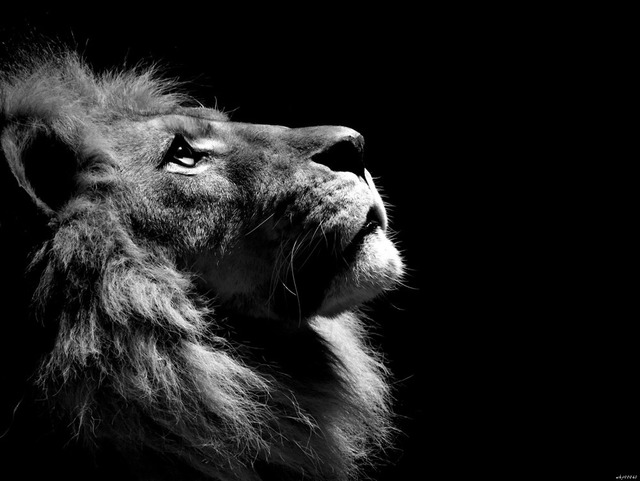 Royal lion wild cat bw animal art huge print poster txhome d2371
