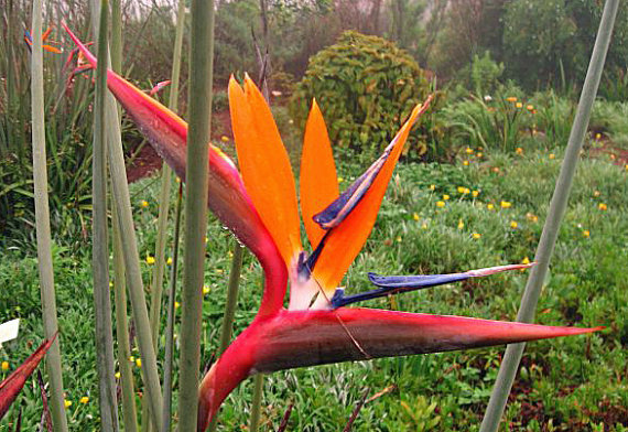 red bird of paradise flower seeds red junces strelitzia reginae