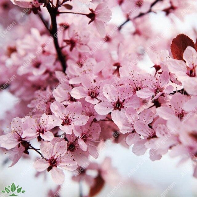 planter un sakura