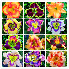 Фотография Hot Sale! 100 Seeds/Lot Hybrid Daylily Flowers Seeds Hemerocallis Lily Indoor Bonsai Home Garden Supplies