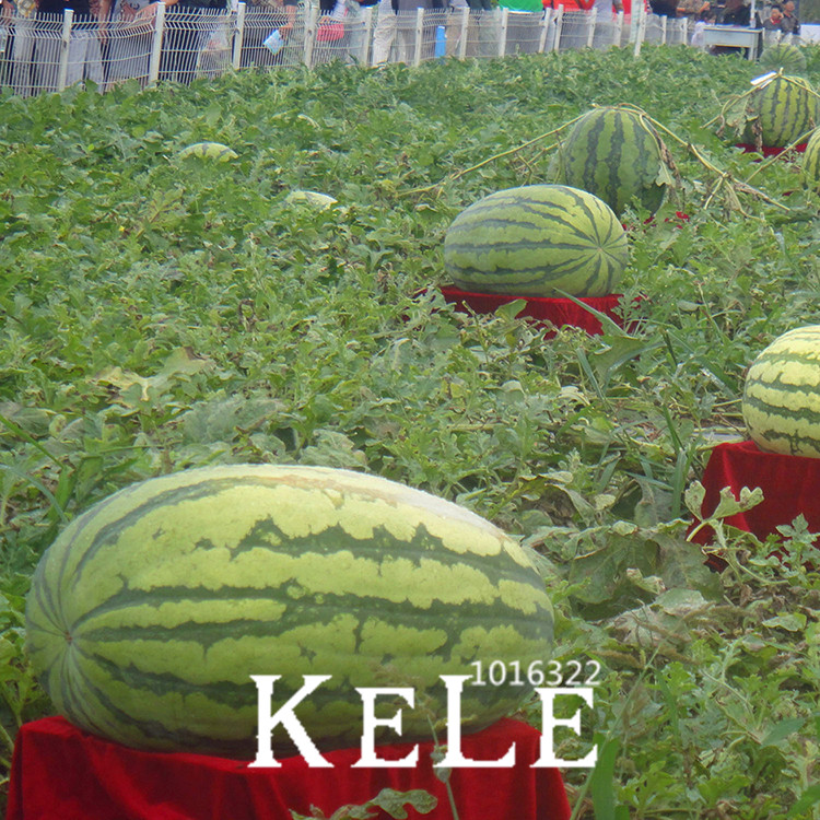 Sale!30 Pcs/Bag Giant Watermelon Bonsai Fruit Garden Planting Watermelon Flores NON-GMO Edible Fruits,#BI3OID