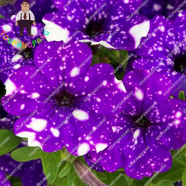 100pcs Wholesale Garden Petunia bonsai Hanging Flowers Plant Pot For Balcony Bonsai Flower bonsai Diy Plant Morning Glory Semill