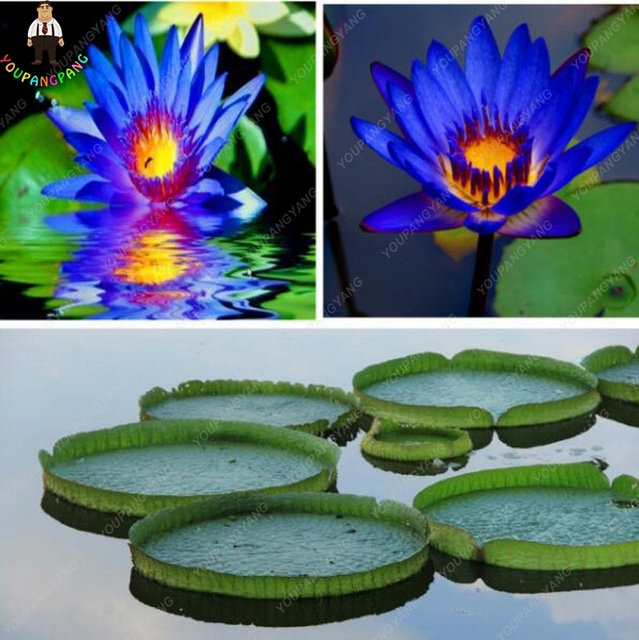 10pcs Blue Lotus plants Rare Water Lily Flower bonsai Fragrant Oriental Bonsai plants For Home Garden Potted Plants Free Shippi