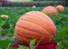 build your garden! 5pcs/lot, happy farm Huge Pumpkin vegetable Seeds FR010