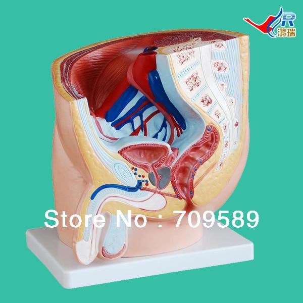 ISO Male pelvis model, Anatomy Median section of pelvis model iso median section of head model anatomical head model