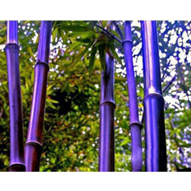 rare purple bamboo seeds decorative garden lucky bamboo garden plants seeds 10pcslot - Bamboo Garden