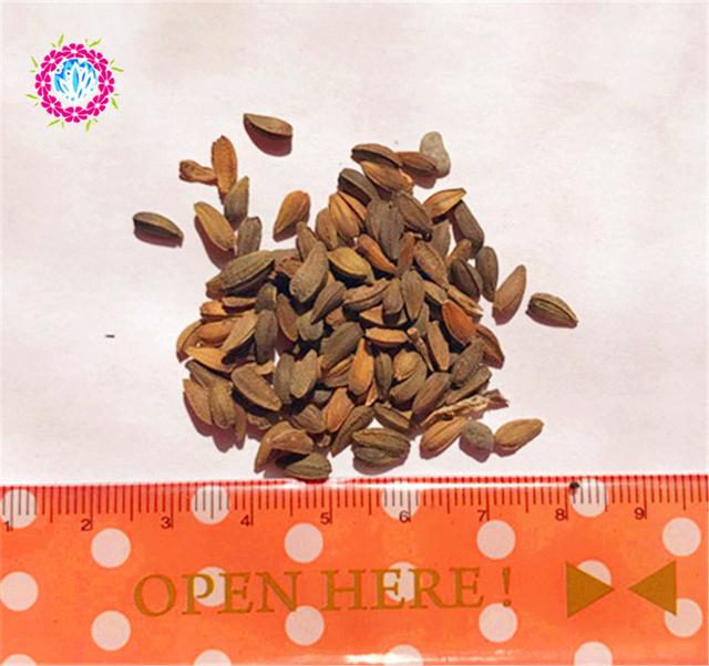 Osteospermum Ecklon Seeds, Blue Flowers Seeds, 30pcs/pack