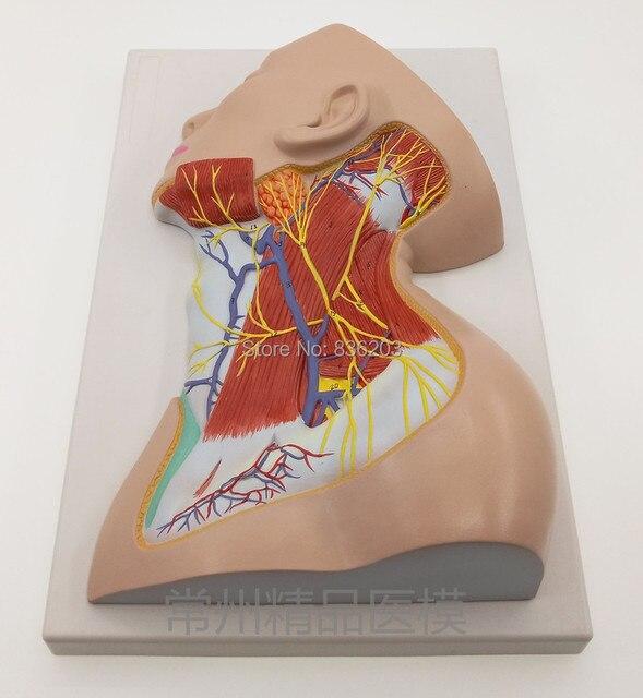 life size Human Neck Head Shoulders Nerves Model Trainer Anatomical ...