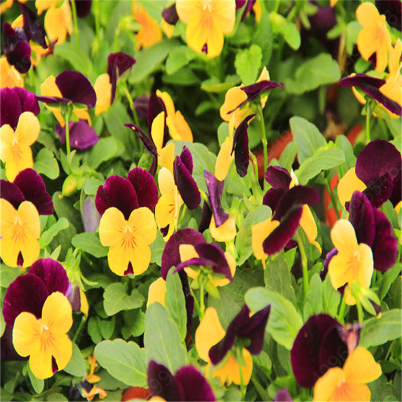 100 Pcs/Pack Mexican Imported Pansy Bonsai Wavy Viola Tricolor Pansy Flower Bonsai Potted Plant DIY Home & Garden Easy to Grow