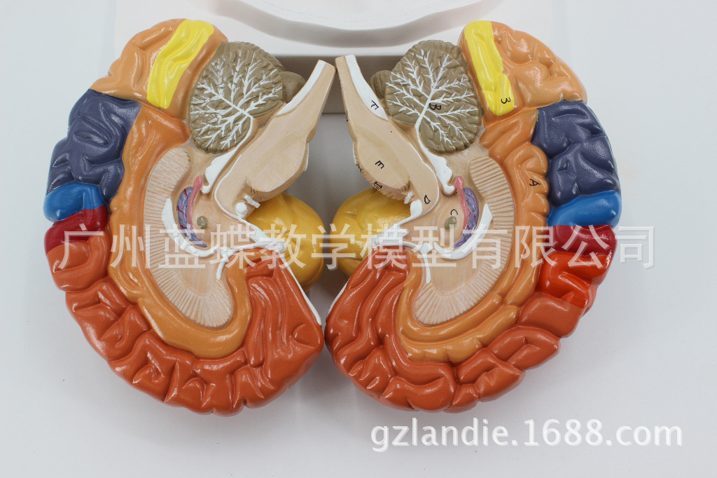 Colored 1:1 Life Size Human Brain Anatomical Model 2 Component Brain Function Subregional Medical ModelColored 1:1 Life Size Human Brain Anatomical Model 2 Component Brain Function Subregional Medical Model