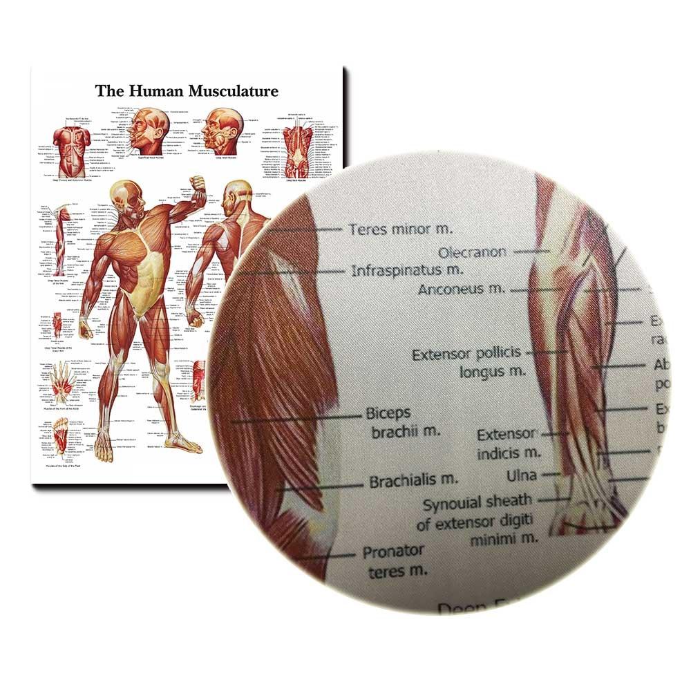 Menschlichen Anatomie Muskeln System Art Silk Plakat-druck 24x32 ...