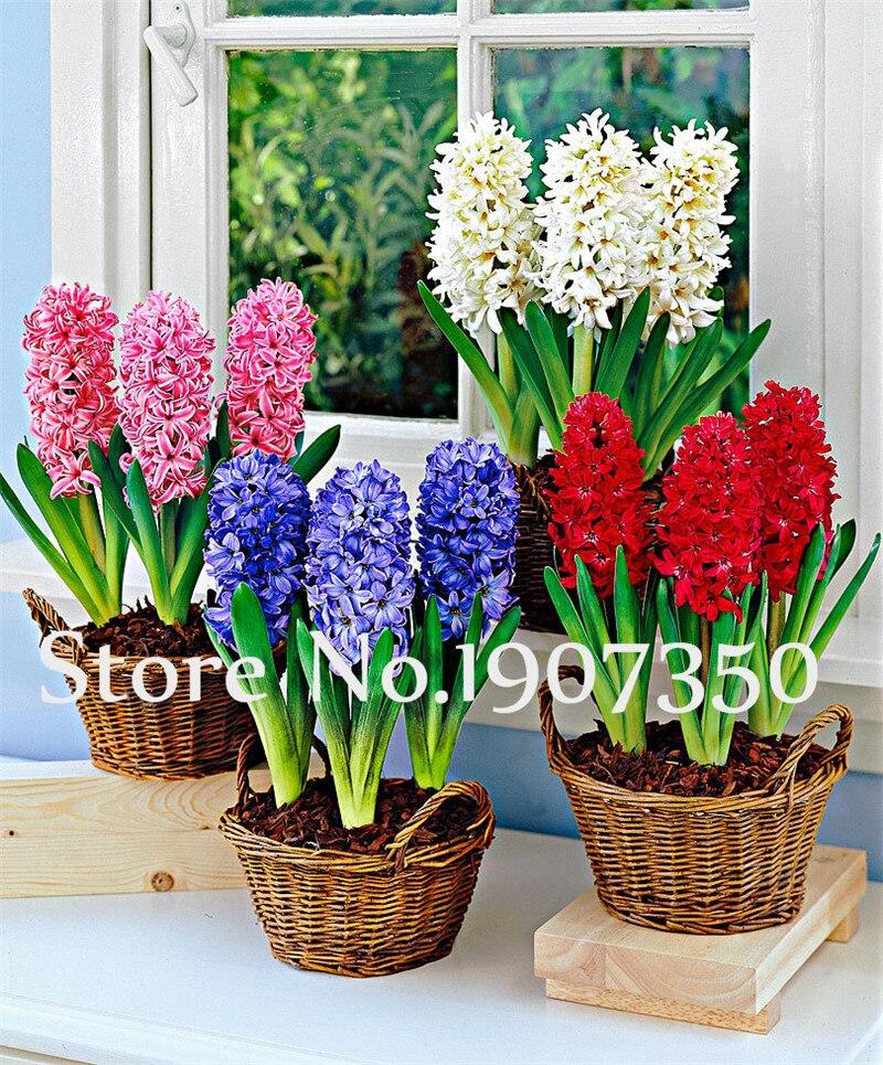 100 шт. гиацинт карликовые деревья Гиацинт восточный цветок гостиная гидропоники растения цветы для многолетний сад украшения завод
