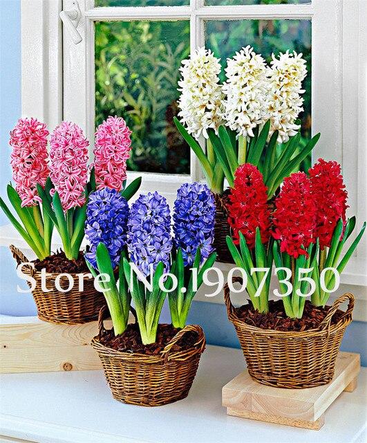 100 piezas Hyacinth Bonsai Hyacinthus Orientalis flor sala de estar plantas hidropónicas flores para una planta de ornamentos de jardín perenne