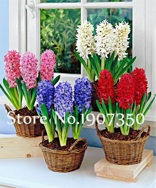 100Pcs Hyacinth Bonsai Hyacinthus Orientalis Flower Living Room Hydroponic Plants flowers for a perennial garden Ornaments Plant