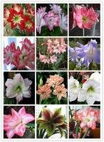 Bulbi di fiori molti tipi 1 pz lampadine amaryllis amaryllis sementes de flores più grande caso e jardim casa e giardino plantas + un dono gratuito