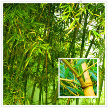 20 pcs/bag rare blue,red,yellow,green,black,purple bamboo seeds decorative herb planter