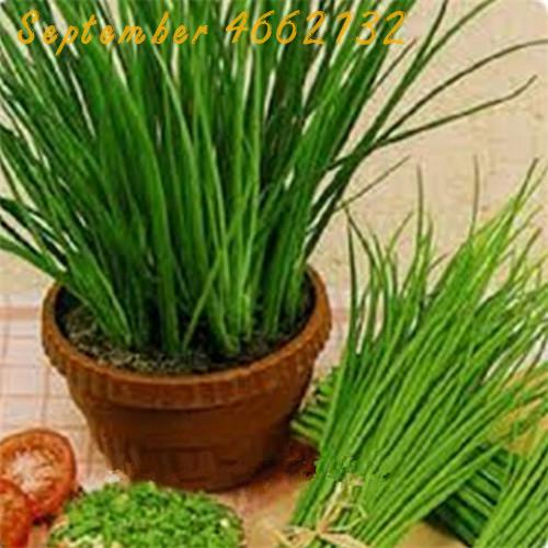 Selling 100pcs Large - Leaved Chinese Chive Continuous Harvest Warming Liver And Kidney Potted Vegetable Bonsai Free Shipping
