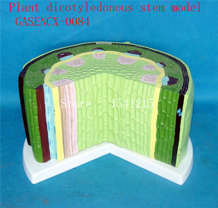 Plant tissue Plant anatomical model Biological teaching model Plant specimens Plant dicotyledonous stem model - GASENCX-0084 plant tissue plant anatomical model biological teaching model plant specimens plant dicotyledonous stem model gasencx 0085