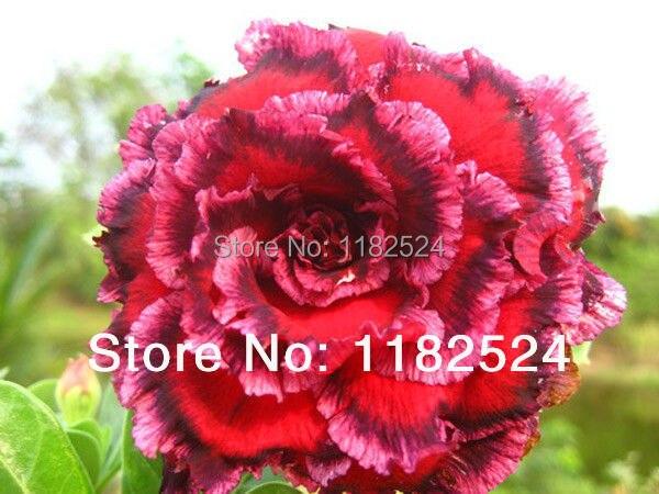 20 SEEDS Fresh Rare Sawan7 Adenium Obesum Seeds Bonsai Desert Rose Flower Plant Seeds