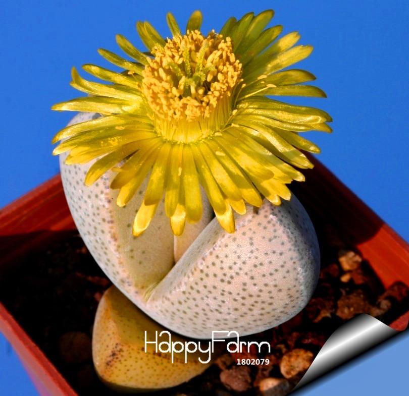 New Seeds 2015!100% Genuine 10pcs/Pack Conophytum Calculus rarest succulent cactus seeds~Lithops Seeds Semillas De Flores,#0AR0W