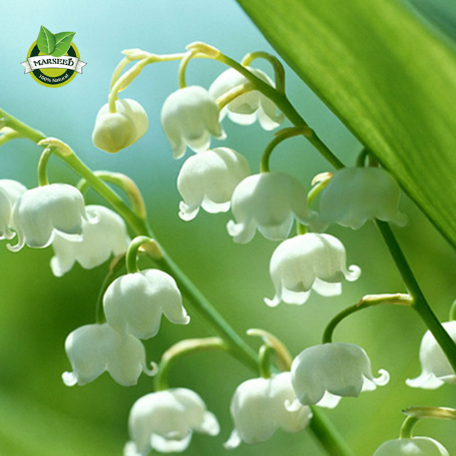 Marseed20 pcs heirloom home garden flowers white lily of valley bell marseed20 pcs heirloom home garden flowers white lily of valley bell lily seeds original packaging a mightylinksfo