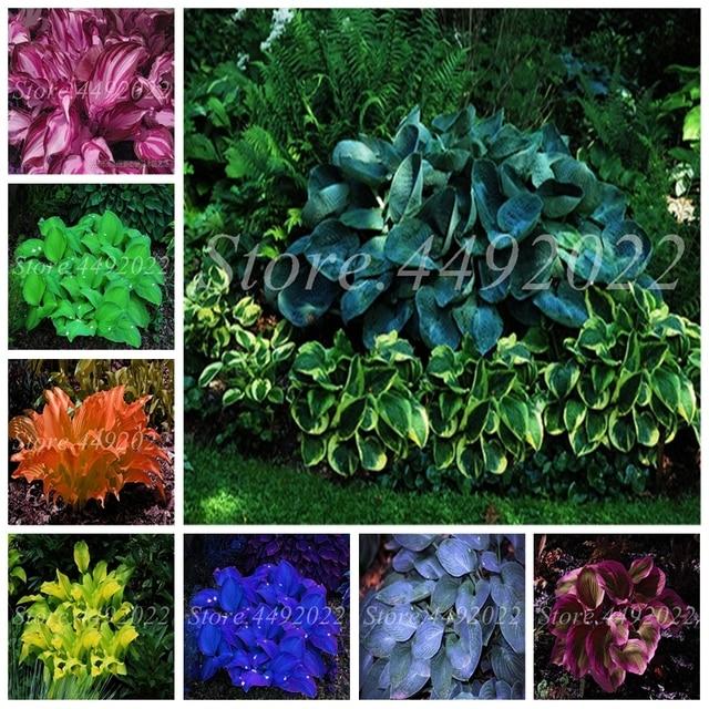 300 Pcs Bag Bonsai Hosta Perennials Plantain Blooming Outdoor Lily