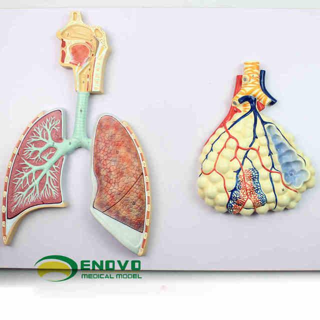 Das modell des menschlichen nasen bronchiale lunge proben von lungen ...