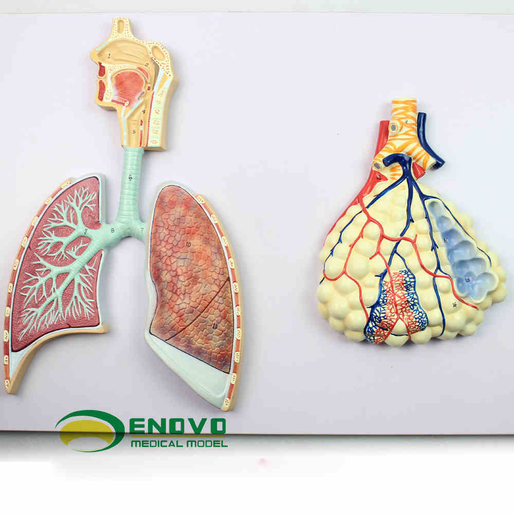 The model of human nasal bronchial lung specimens of pulmonary ...