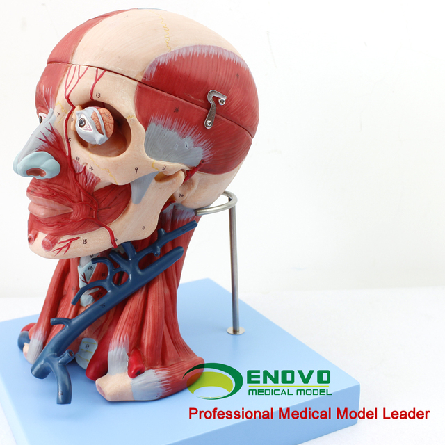 Medical Head And Neck Muscles Blood Vessels Brain Attached Head