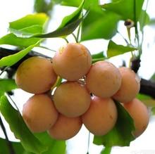 Ginkgo Biloba Maidenhair Bonsai Tree Seeds 10 Pcs