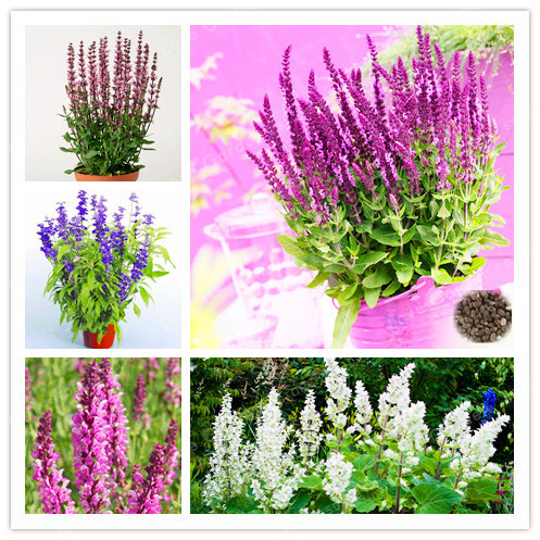 Hot Selling 100PCS/Pack Sage Bonsai, Chia plant, Magic Bonsai Sage Perennial Balcony Bonsai Flower Bonsai