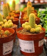 100pcs rare cactus seeds mini succulent bonsai seeds Indoor perennial plant potted for home garden decor sementes best packaging