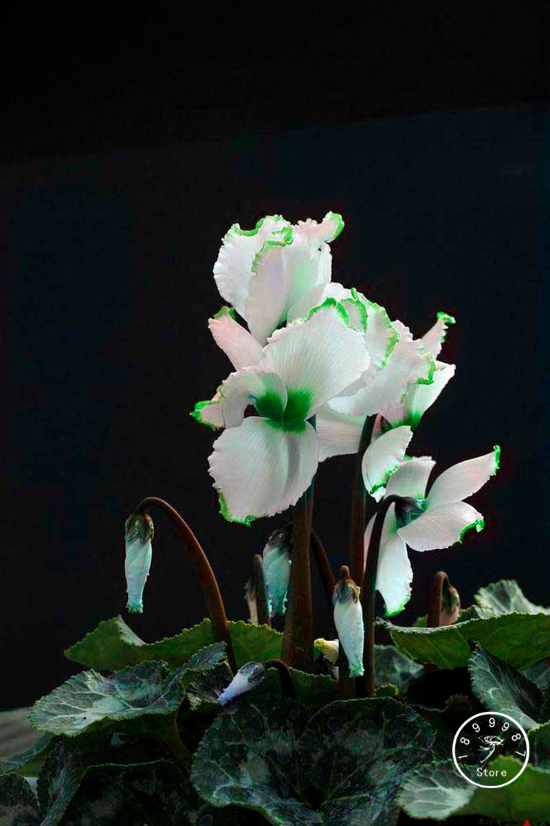 New Fresh Green Edge White Cyclamen Flower Bonsai Perennial