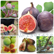 100 Sweet Honey FIG seeds - Fragrant - King Figs Courtyard Sementes De Flores Fig Tree bonsai plant rare fruit seeds(China)