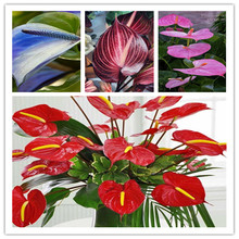 24kinds Rare African anthurium seed, anthurium andraeanu seeds, indoor potted flowers Anthurium plant 100 particles / bag