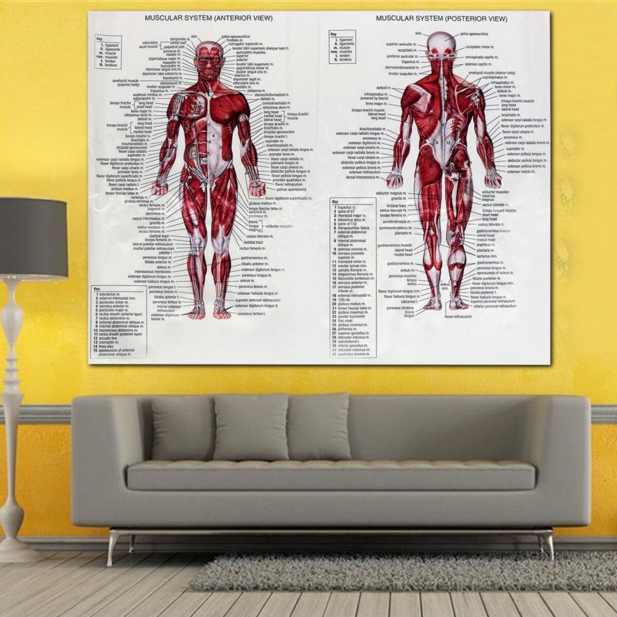 60x80 cm sistema muscular Poster tela de seda anatomía Chart Cuerpo ...