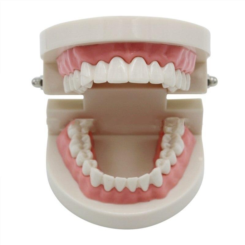 3 Pcs Dental Model Teeth Model Jaw Standard Demonstration Denture Teaching Model Kindergarten Brushing Teaching Denture Model