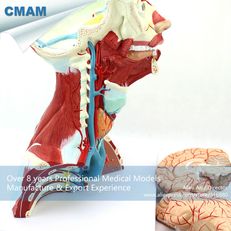 CMAM-MUSCLE16 Medical Education Anatomical Neck Muscle Anatomy Model lego education 9689 простые механизмы