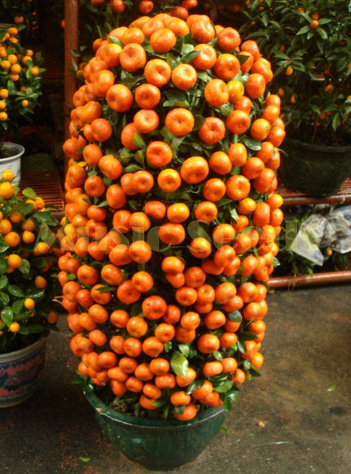 100pcs hot sale Kumquat Seeds orange Balcony Patio Potted Lots Fruits Trees Tasty Juicy Orange Seeds For Home and Garden ...