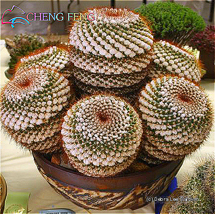 Cactus maceta al por mayor de alta calidad de china for Cactus enanos por mayor