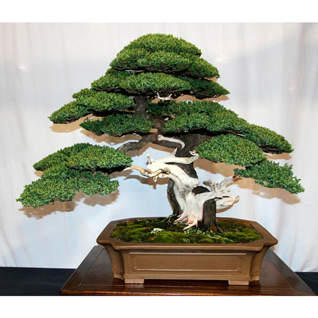 office bonsai tree. 10 Seed/pack Juniper Bonsai Tree Potted Flowers Office Purify The Air Absorb Harmful P