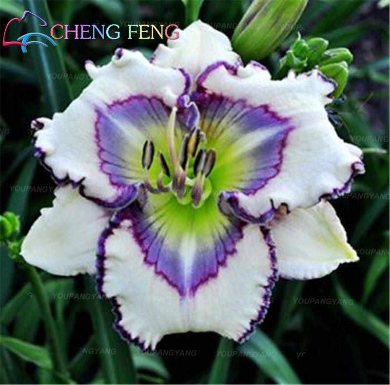 100 زهرة الزنبق النباتات زهرة جميلة بونساي شجرة بلانتاس داخلي وخارجي باب زهرة حديقة الديكور