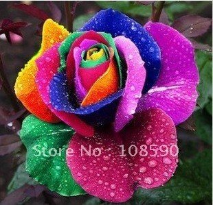 supply promotion 9 type rose seeds 20pcs for each color, 180pcs/pack include rainbow black blue white, Free Shipping rose seeds