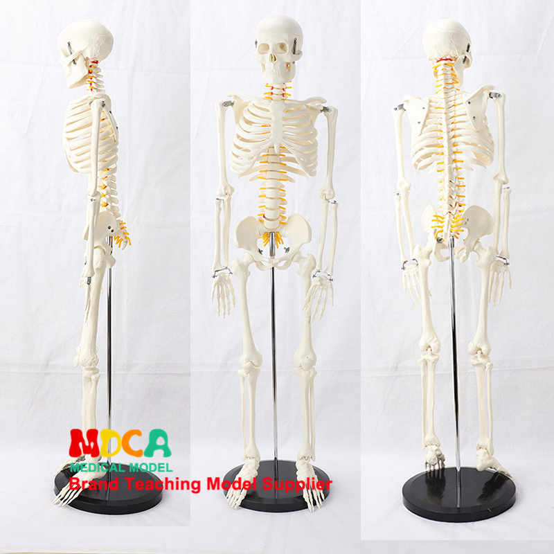 85CM Pillar Type Human.skeleton Spinal Nerve Model Medical Yoga Fitness Learning Bone Model MGG203