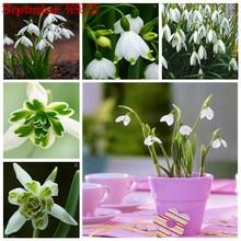 New 100PCS Galanthus nivalis bonsais Snowdrop Flower bonsais Rare Exotic Plants Cold-Resistant Nivalis Semillas De Plantas De