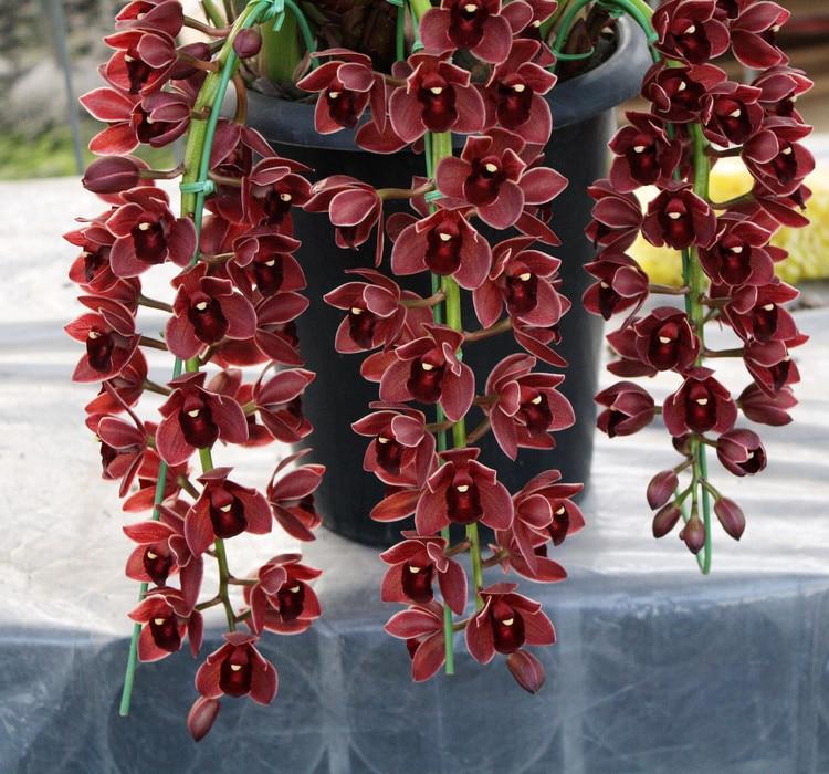 100 Pcs Dark Red Chinese Cymbidium Orchid Bonsai Home Garden Flower Bonsai Indoor Potted Plants Flowers Bonsai Cicada Orchids Bo