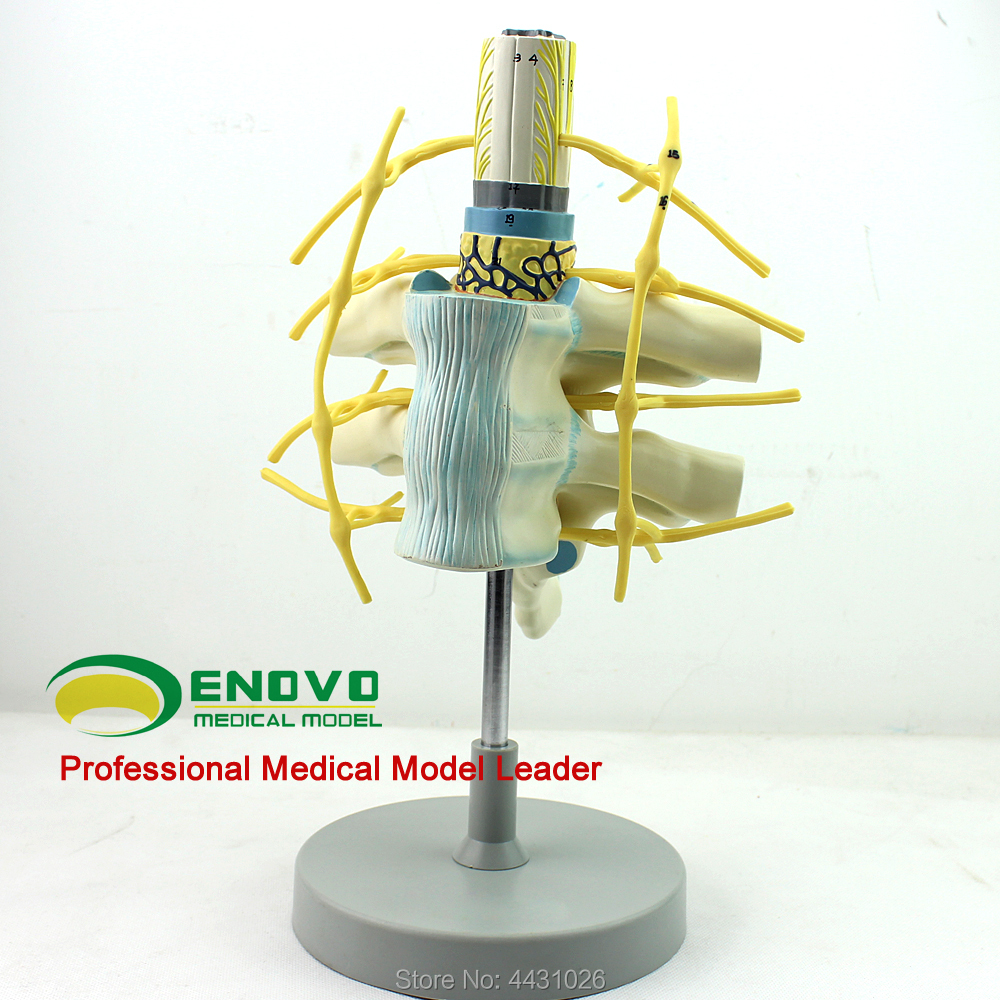 ENOVO Nerve fiber bundle in the spinal cord model of the thoracic spinal cord цена